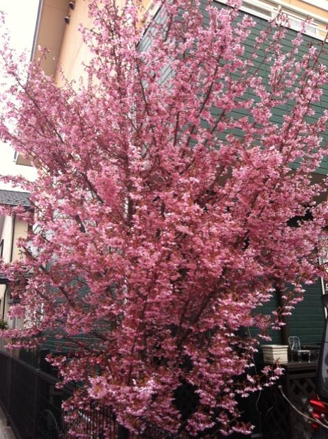 おかめ桜3.jpg